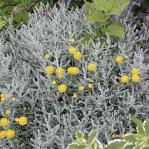 Gray Santolina, Lavender Cotton