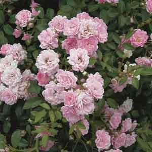 Fairy Rose, Sweetheart Rose