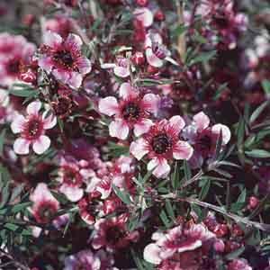 New Zealand Tea Tree, Broom Tea Tree