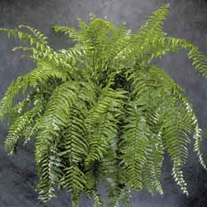 Macho Fern Indoors