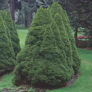 Alberta Spruce, White Spruce