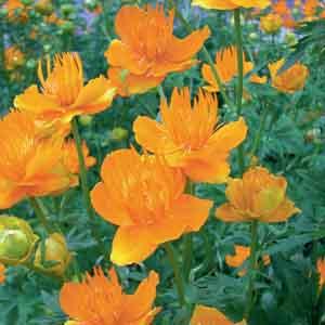 Globeflower, Chinese Globeflower