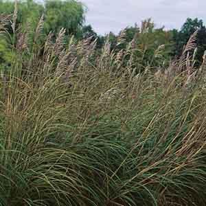 Plume Grass, Hardy Pampas Grass