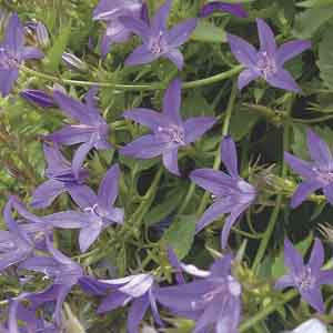 Serbian Bellflower