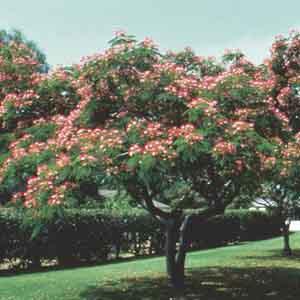 Albizia, Mimosa, Silk Tree