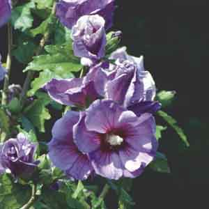 Rose of Sharon, Althea