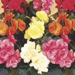 Rieger Begonia, Elatior Begonia