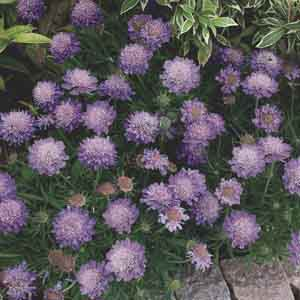Dwarf Pincushion Flower