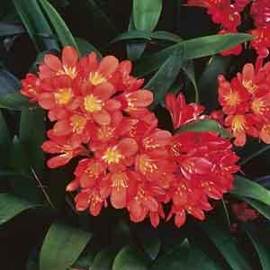 Natal Lily, Bush Lily Indoors