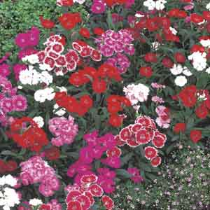 Dianthus, China Pink, Indian Pink
