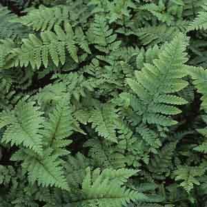 Eastern Wood Fern, Leatherwood Fern