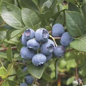 Northern Highbush Blueberry