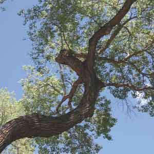 Poplar, Eastern Cottonwood