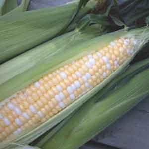 Corn (Zea mays)