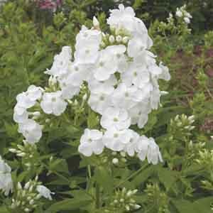 Garden Phlox, Summer Phlox