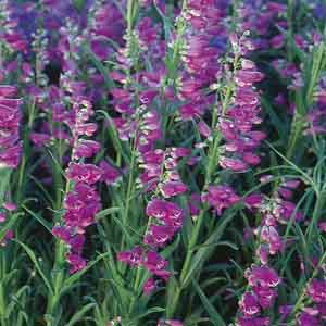 Beardtongue, Beardlip penstemon