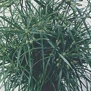 Cyperus, Umbrella Grass