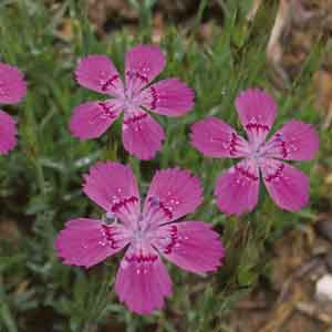Dwarf Pink