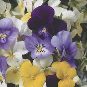 Viola Annual