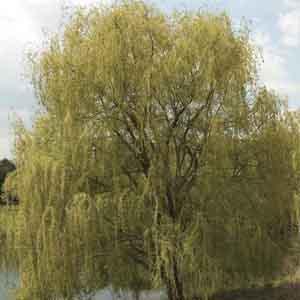 Weeping Willow, Peking Willow