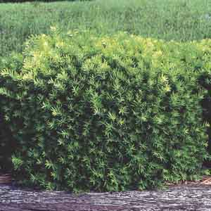 Globe Yew