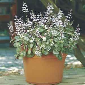 Plectranthus, Candle Plant