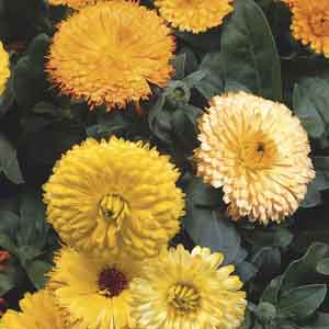 Calendula, English Marigold, Pot Marigold
