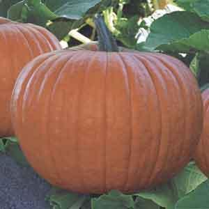 Pumpkin (Cucurbita pepo)
