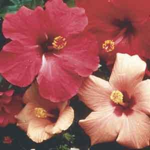 Chinese Hibiscus, Hawaiian Hibiscus