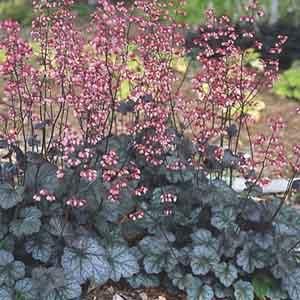 Coral Bells, Coral Flower