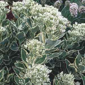 Stonecrop, Upright Sedum