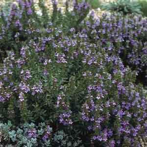 Purple Winter Savory