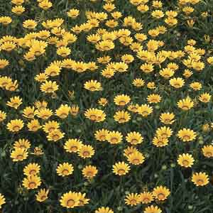 Treasure Flower, Gazania