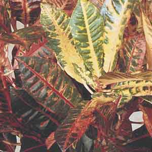 Croton Indoor