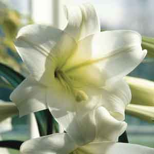 Easter Lily, Christmas Lily (Lilium longiflorum)
