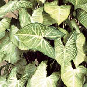 White Butterfly Syngonium