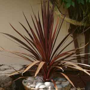Cordyline, Spikes Indoors
