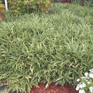 Hardy Bamboo