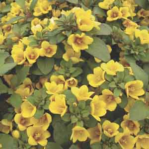 Lysimachia, Dense Flowered Loosestrife