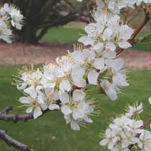 Semi-Dwarf Cherry
