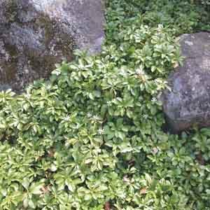 Pachysandra, Japanese Spurge