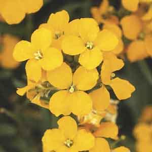 Cheiranthus, Siberian Wallflower