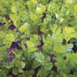 Cilantro, Fresh Coriander
