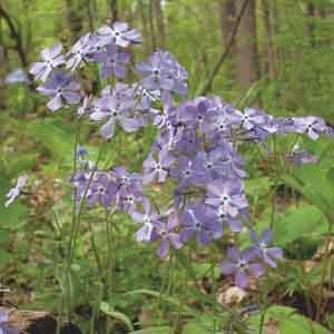 Woodland Phlox, Wild Blue William