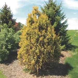 Golden Upright Arborvitae