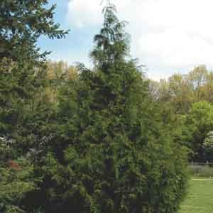 Western Arborvitae, Western Red Cedar