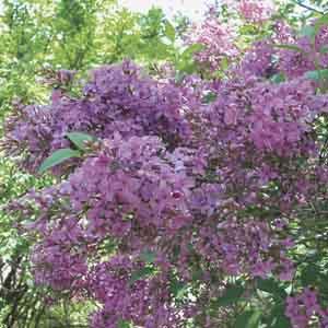 Persian Lilac