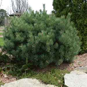 Dwarf Scotch Pine