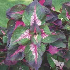 Perilla, Beefsteak Plant