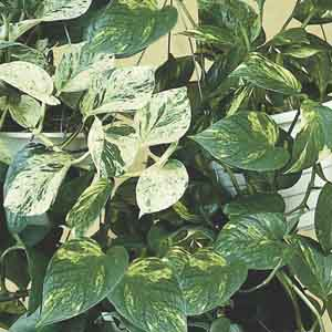 Pothos, Devil's Ivy